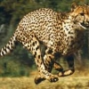 The World's Fastest Runner: Cheetah